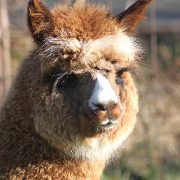 Alpacas of the Lowlands Eon