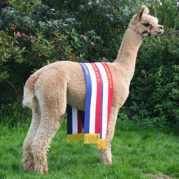 Classical MileEnd Socrates of Legendary Alpaca's and Alpacamundo